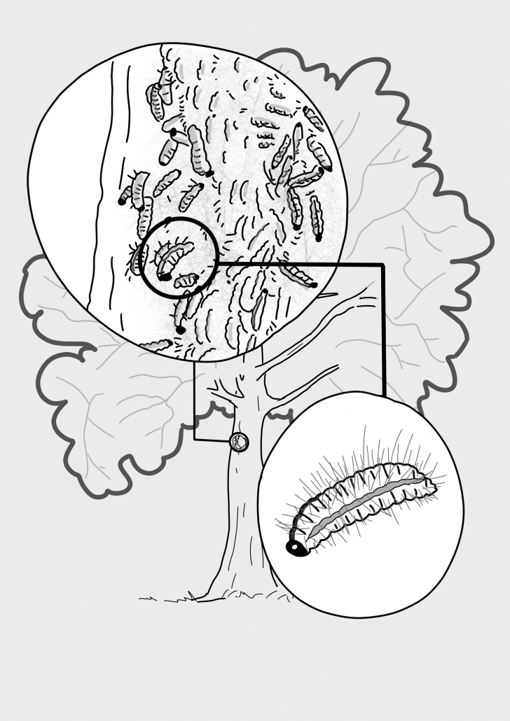Durch den Eichenprozessionsspinner befallene Eiche